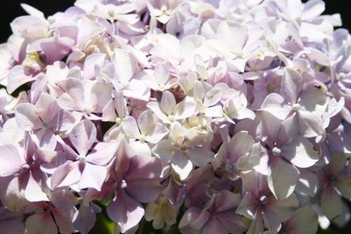 Hortensia rose pale